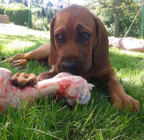 Maron isst einen Knochen