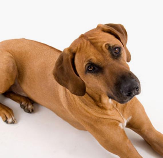 Maron Foto Hund
